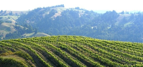 The Sun Shining on Vineyards Belonging to Hirsch Vineyards