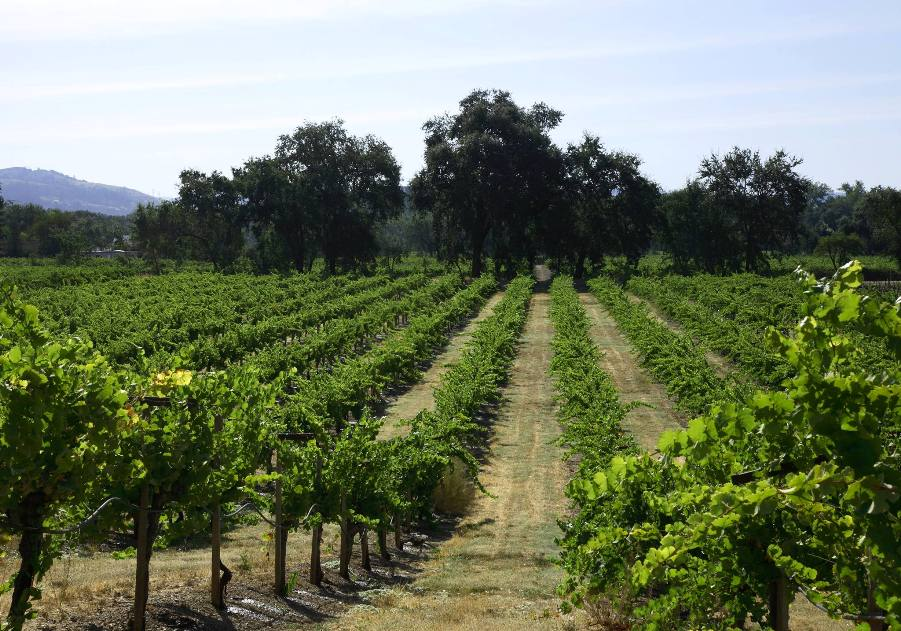 A View of a Vineyard at Chateau St. Jean