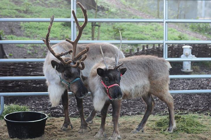 Live reindeer, Willow and Yukon, during Reindeer Rendezvous