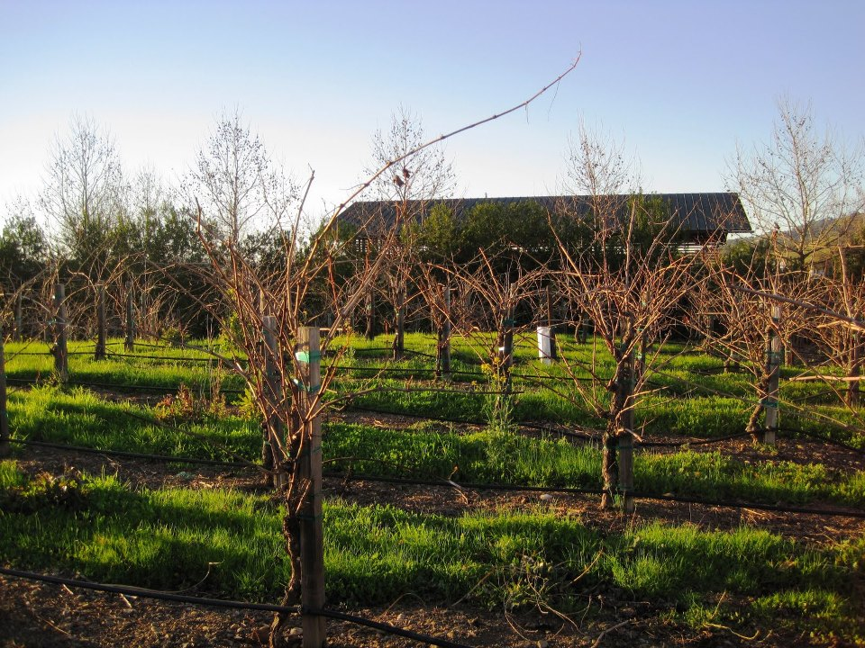 Stryker Sonoma Winery Uses Winter Grass to Prevent Erosion in the Vineyard