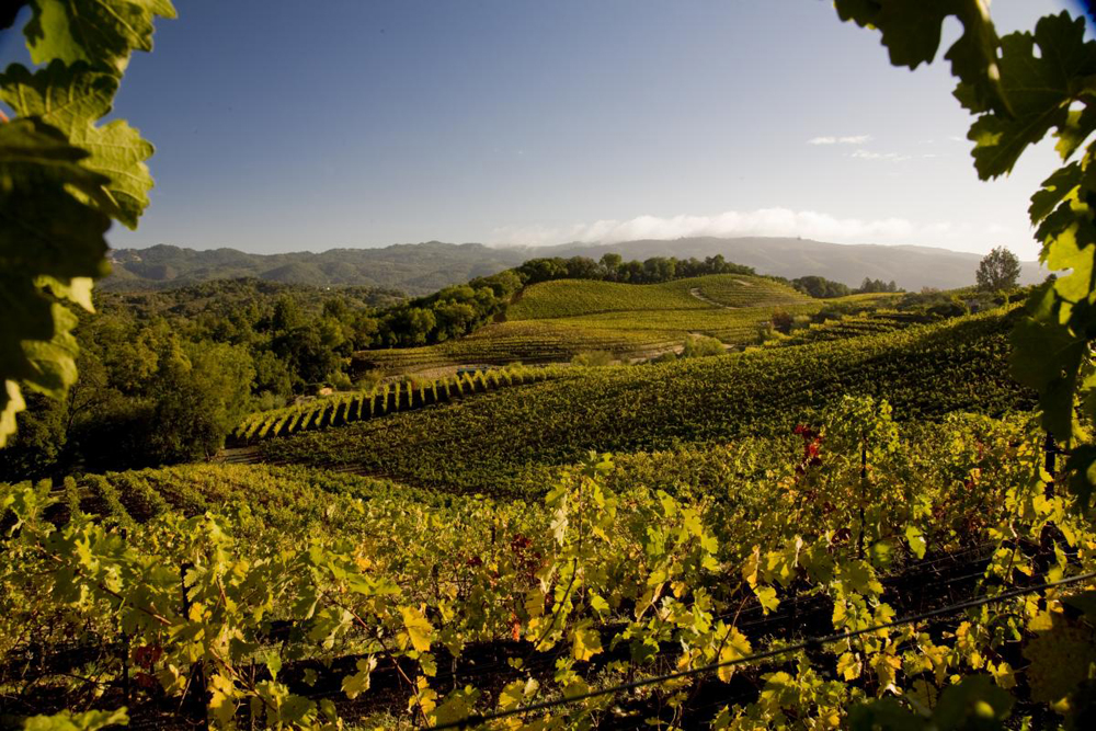 A Vineyard View from Benziger Family Winery