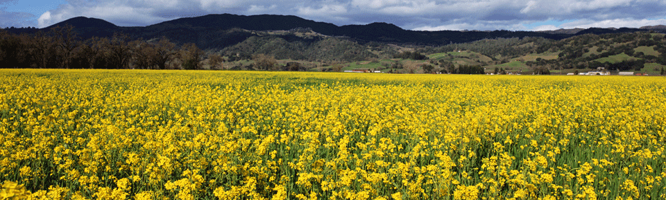 Mustard Blooming in Alexander Valley, photo from Alexander Valley Winegrowers