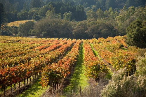 Autumn_vineyard_Cathy_Stancil
