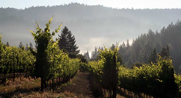 One of the Hartford Family Winery's Vineyards Showing the Presence of Cool Morning Fog