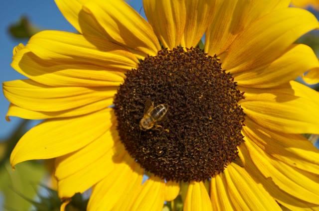 Quivira sunflower