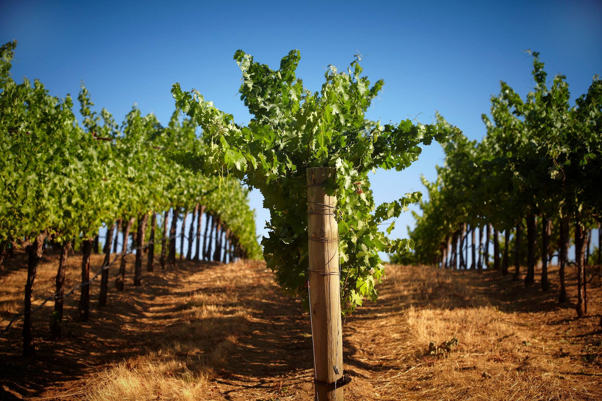 Sonoma County Wines at Rodney Strong Vineyards