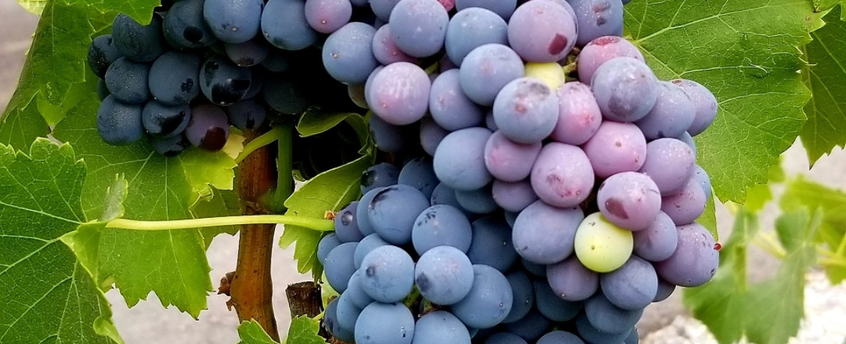 Zinfandel Grapes 082518